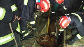 Firemen helping a cow that got stuck