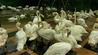 Swans rescued from oil spill