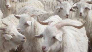 Generic cashmere goats