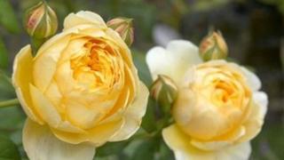 Roses flower in a garden