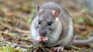 Brown rat on South Georgia