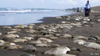 Dead stingrays on a beach near the Mexican town of Ursulo Galvan on 16 July 2013