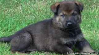 Puppy from Devon and Cornwall Police German Shepherd Ruby