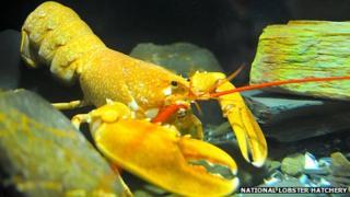Jaffa the bright orange lobster