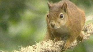 Red Squirrel - generic