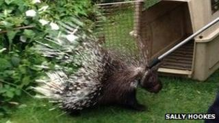 Porcupine rescue photo by Sally Hookes