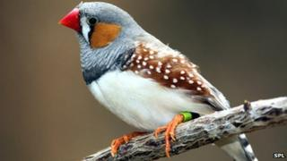 Zebra finch on branch