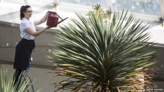 Garden staff member Rachael Hughes waters the dragon tree