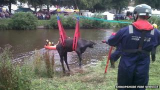 Cow being winched in front of crowds