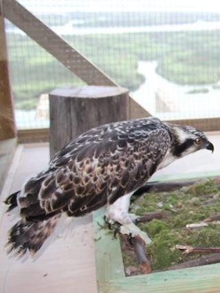 One of the ospreys which was released