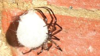 Cave spider with egg sac