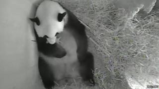 Giant panda Yang Yang holds her newborn cub inside a birth box at Schoenbrunn zoo in Vienna, Austria.