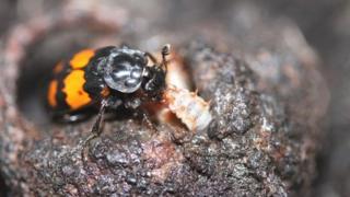 Burying beetle Pic: Dr Per T Smiseth