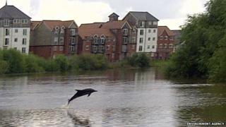 Dolphin on River Dee