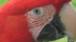 Rosie, the green winged macaw