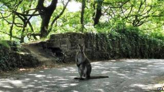 The wallaby in Yorkshire