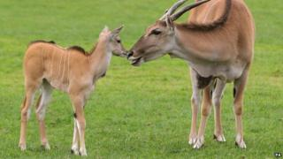 Three-week-old Nisbet makes her public debut at Blair Drummond Safari Park.