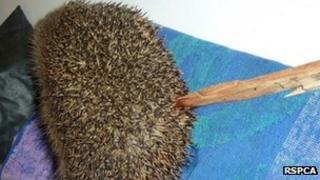 Fatally injured hedgehog