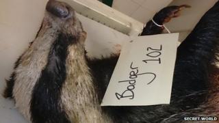 Shot badger image