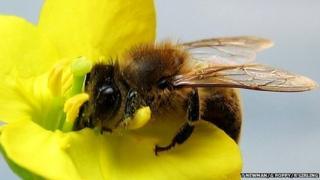 Honeybee on flower (c) Tracey Newman, Guy Poppy, Robbie Girling