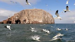 Gannets at Bass Rock
