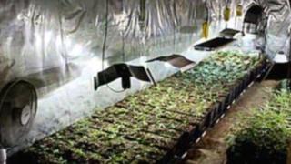 Cannabis farm in Haddenham, Cambridgeshire