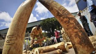 Kenyan officials display some of more than 1,600 pieces of illegal ivory found hidden inside bags of sesame seeds in freight travelling from Uganda, in Kenya's major port city of Mombasa, Kenya - Tuesday 8 October 2013