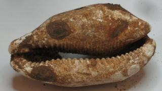 Cowry shell found at River Alde site