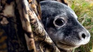 Seal in hide