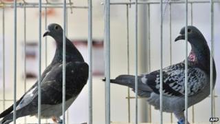 Belgian racing pigeons