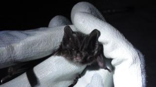 A Barbastelle bat