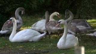 Swans at West Hatch Animal Centre in Taunton, Somerset