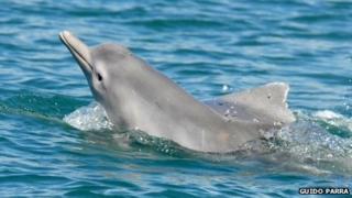 Humpback dolphin