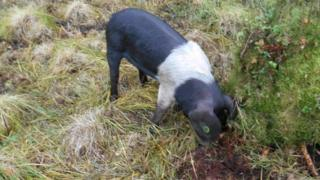 one of the saddleback sows