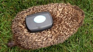 A hedgehog fitted with GPS tracker