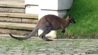 Wallaby at Highgate Cemetery