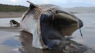 Dead Minke whale
