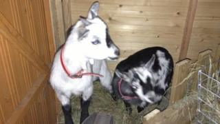 Phoenix and Pepper, the stolen pygmy goats
