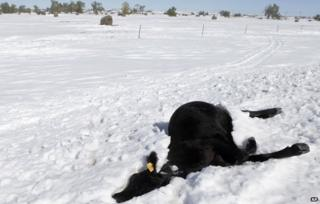 Cow near Sturgis, South Dakota