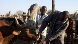 An assessor from the department of agricultura inspecting a cow's teeth in Zvishavane, Zimbabwe