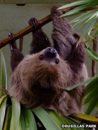 Sofia, the male sloth