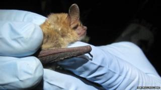 Geoffroy's bat