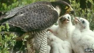 Peregrine feeding chicks Photo: Chris Gomersall (Rspb-images.com)