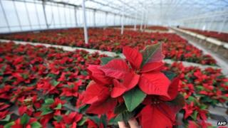 Poinsettia flowers being prepared for Christmas sale