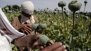 Afghan farmers collect raw opium in Kabul