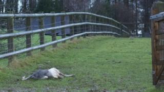 Dead rhea