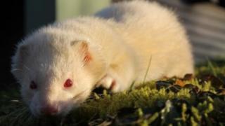 Gareth the ferret