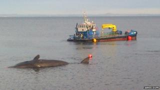 The whale's carcass being moved