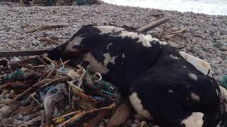 Dead cow washed up on Chesil Beach
