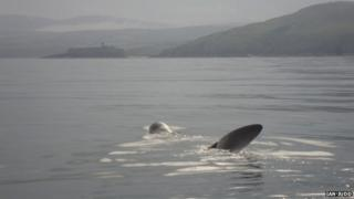 A Basking Shark near Peel